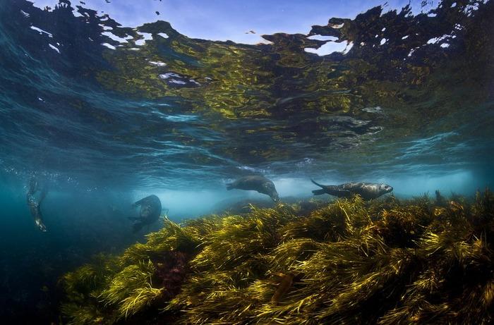 海中で泳ぐオットセイがかわいい写真