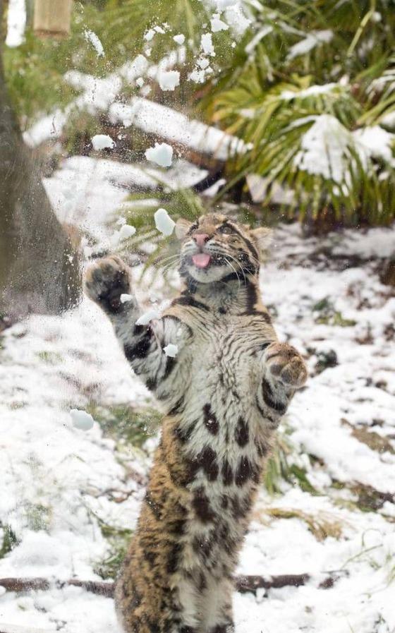 雪と戯れるヒョウの写真