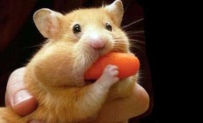 食欲のとどまるところを知らないハムスター