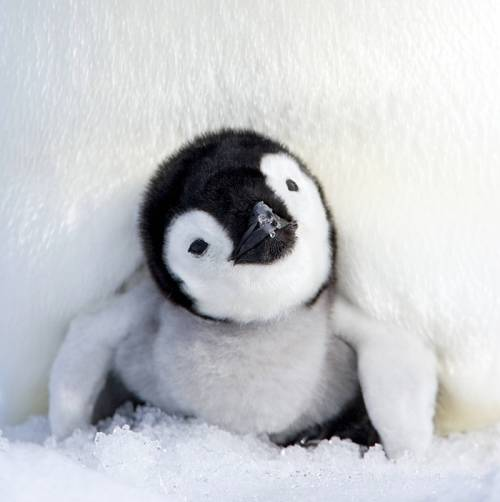 お腹の下から現れたペンギン