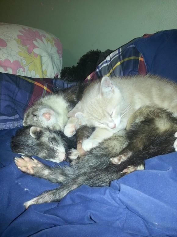 フェレットを多頭飼いしている飼い主が路上でさまよっている子猫を招き入れたらこうなった。