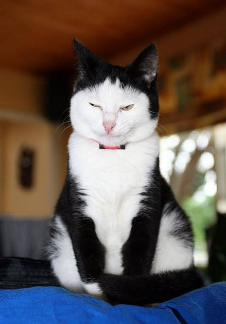 フクロウみたいな猫