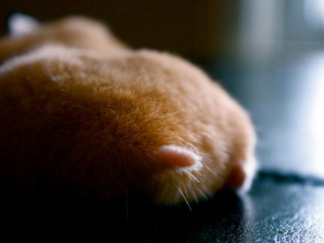 ハムスターのお尻(ハムケツ)は、本当に可愛すぎる写真