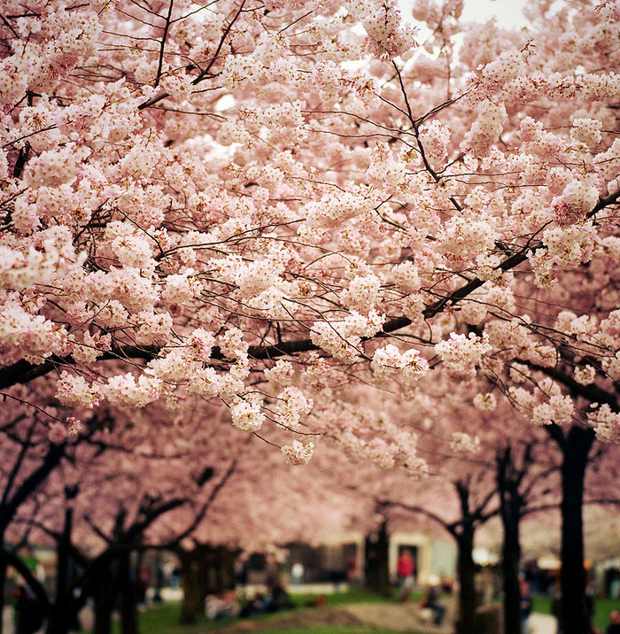 世界に咲く桜