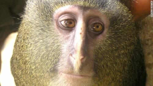 新種サルの「レスラ」の写真