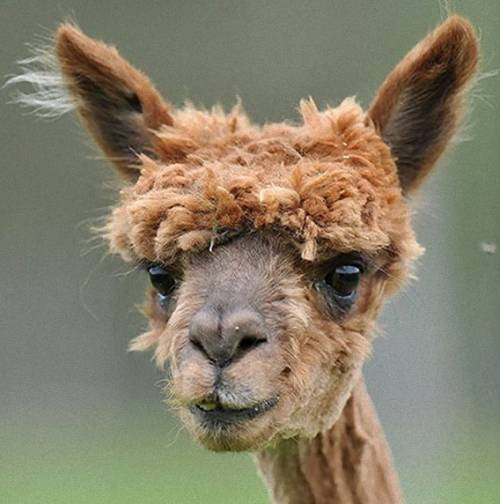 アルパカがヘアカットして可愛すぎる写真