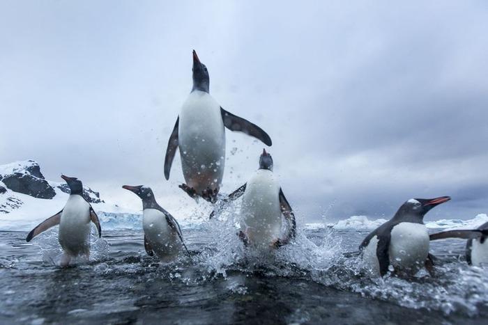 涼しそうなペンギン画像