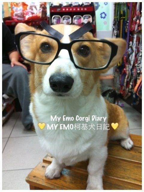 本当に可愛いコーギー犬の写真