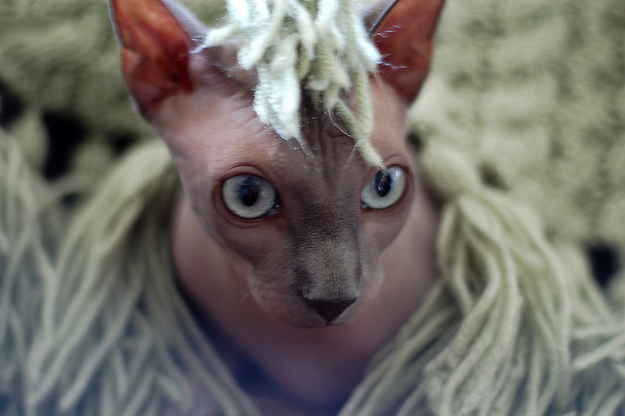 毛のない猫も結構可愛い写真