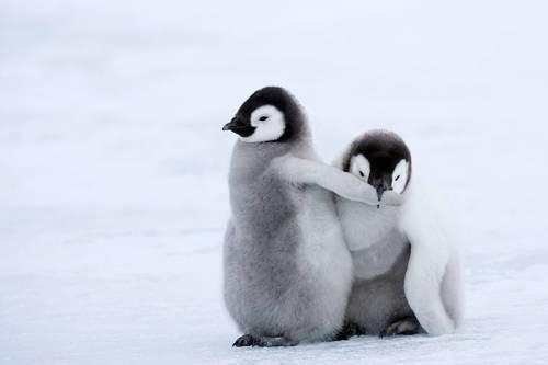 仲良く戯れるペンギン