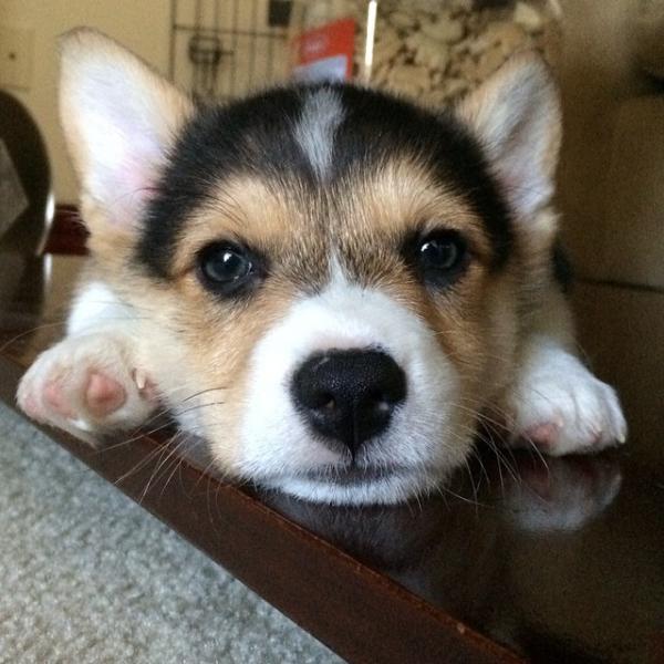 コーギー犬が本当に可愛すぎる写真
