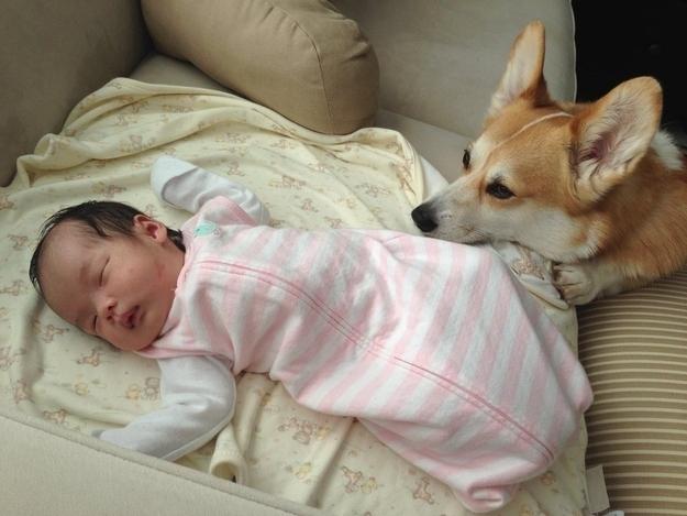 ものすごく赤ちゃんの面倒を見るコーギーの写真