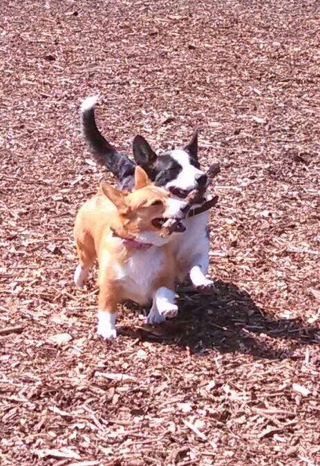 コーギー犬が可愛すぎてやばい写真