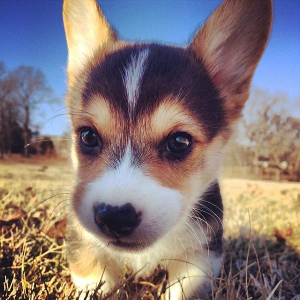 コーギー犬のやっぱり可愛い写真
