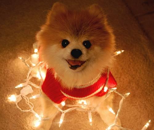 クリスマスのデコレーションで飾られる犬たちの画像30枚