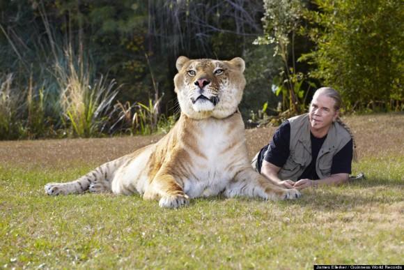 ヘラクレスはライオンとトラを掛け合わせたライガーで、体重は418キロ。体長は約3メートル、肩までの高さは1.2メートルにもなる。