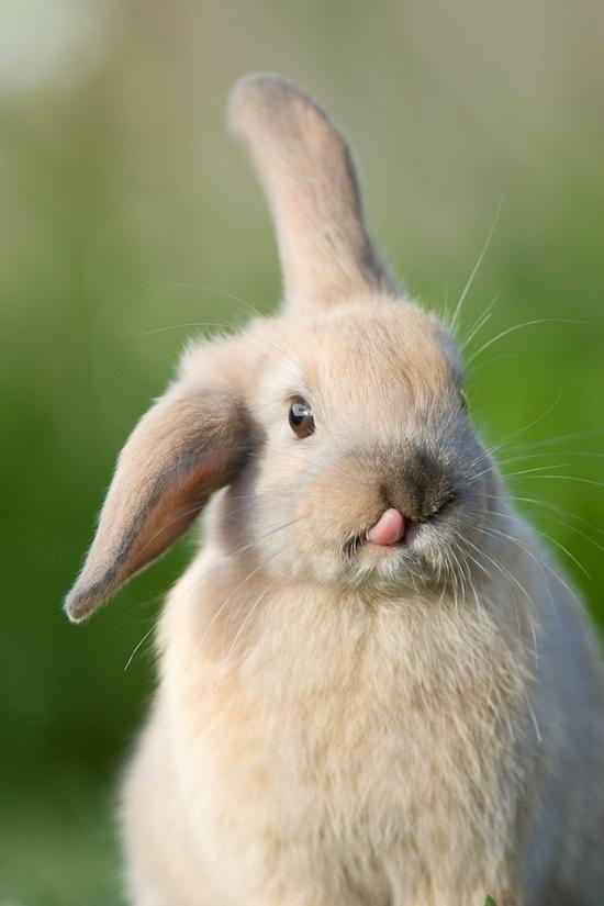 舌を出したウサギの破壊力がヤバイ写真