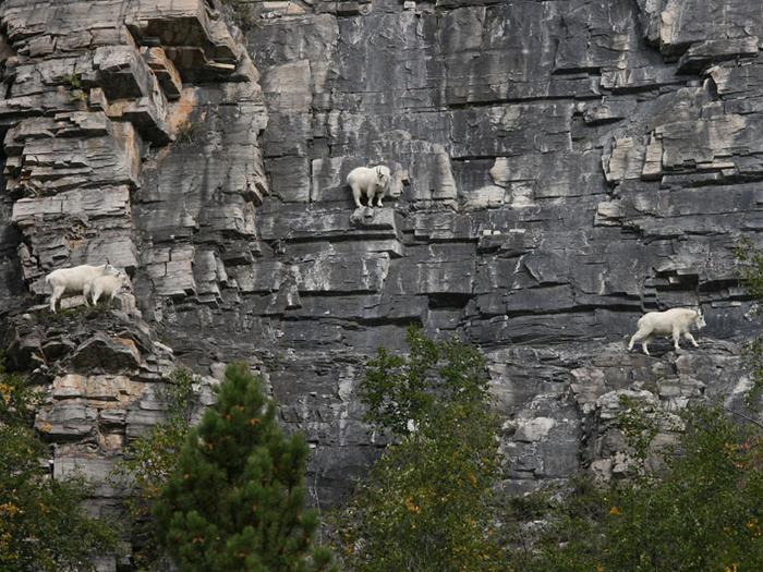 山羊(ヤギ)のバランス感覚は信じられない!写真