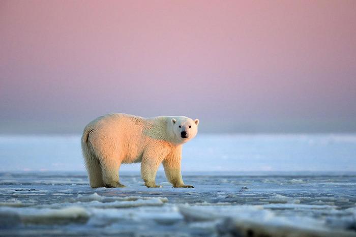 ホッキョクグマとアラスカの壮大な夕日が美しい写真