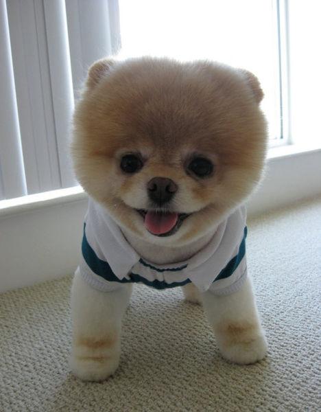 世界一可愛い子犬のBoo